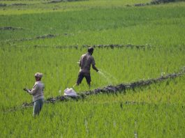 Scientists identify genes to improve fertilizer nitrogen use efficiency in rice